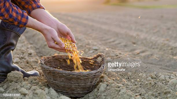 Farmer with corn seeds in basket