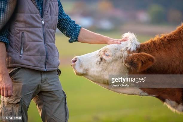 fazendeiro com vaca - grupo mediano de animales - fotografias e filmes do acervo