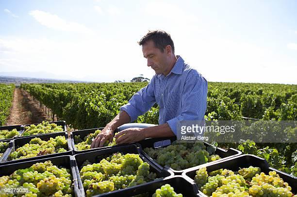 Farmer with grape harvest