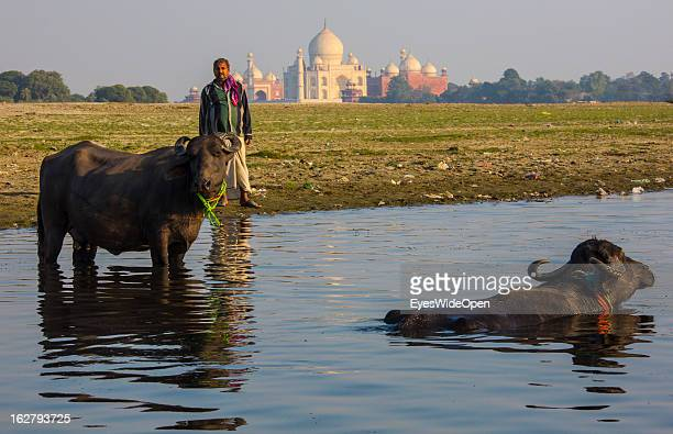 A farmer with his cattle at Yamuna river near the famous indian sightseeing point Taj Mahal on December 01 2012 in Agra Uttar Pradesh India The...