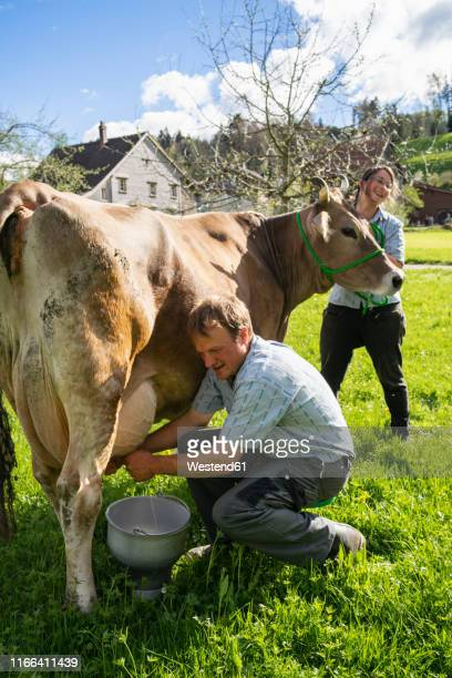 Farmer with his wife milking a cow on pasture