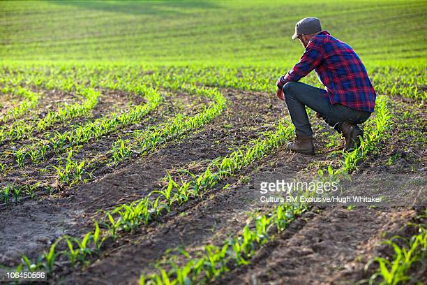 Farmer with new growth corn crop