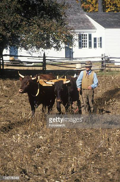 farmer with oxen in historical town - sturbridge stock photos and pictures