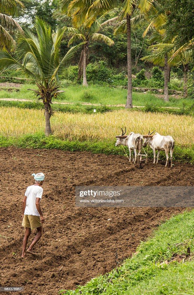 Farmer with oxplough near Channapatna, Karnataka : Stock Photo