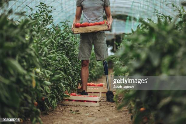 farmer with prosthetic leg picking tomato in greenhouse - human leg stock pictures, royalty-free photos & images