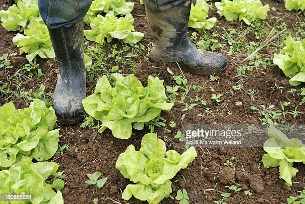 Farmer with rubber boots in a lettuce bed, organic farming, Petropolis, Rio de Janeiro, Brazil, South America