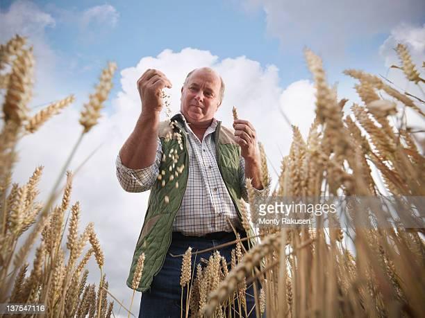 Farmer with wheat (species Triticum) in field