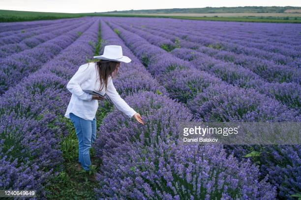 femme d'agriculteur examinant la nouvelle récolte de la plantation de lavande en fleurs. occupation agricole. champs bulgares de lavande. - professional occupation photos et images de collection