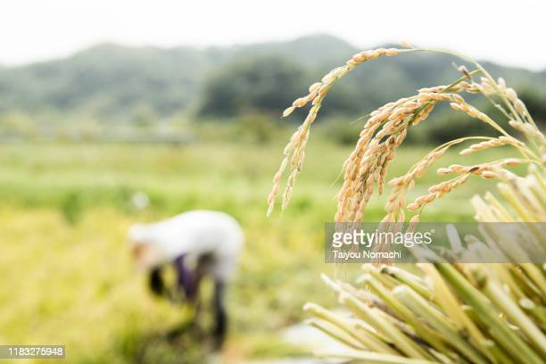 farmer woman with harvested rice - 米 ストックフォトと画像