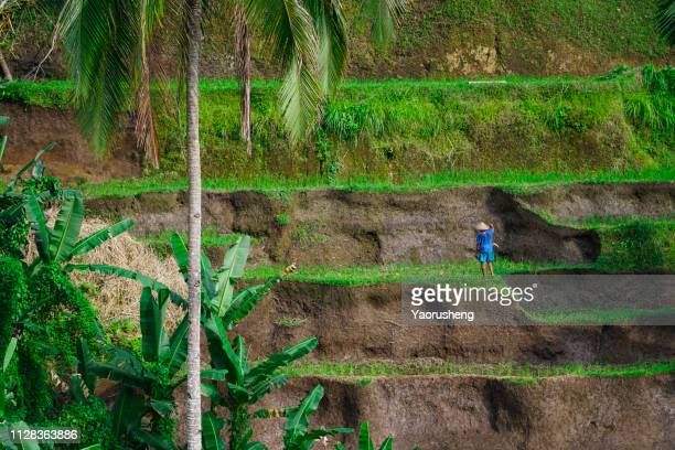 farmer working at tegallalang rice terraces - tegallalang stock photos and pictures