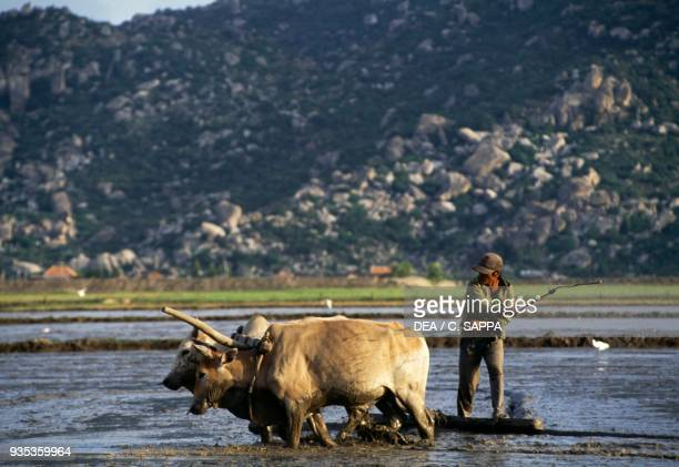 Farmer working in a rice field with a plow pulled by cattle Nha Trang Vietnam