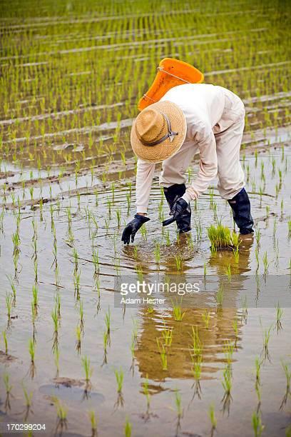 A farmer working in a rural rice field in Japan.