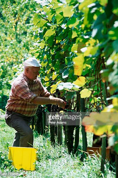 farmer working in his vineyard, roussillon, france - languedoc rousillon stock pictures, royalty-free photos & images
