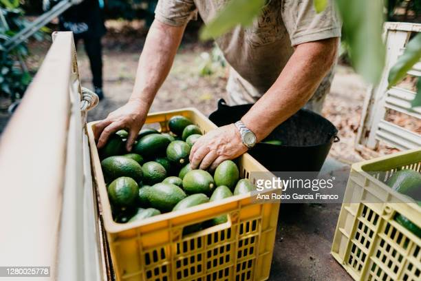 a farmer working in the avocado harvest season - food state stock pictures, royalty-free photos & images