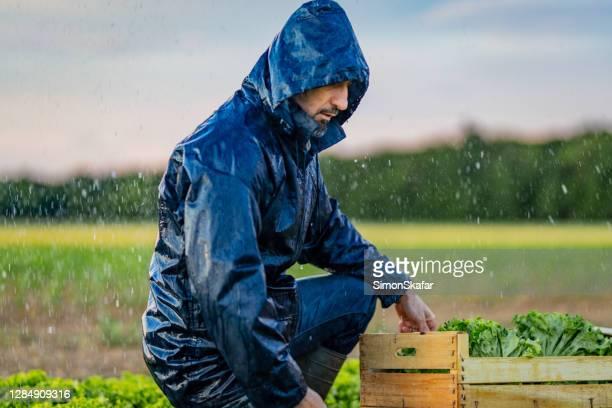 agricoltore che lavora in piantagione di lattuga sotto la pioggia - solo adulti foto e immagini stock