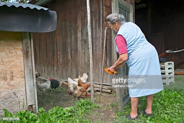Farmer working on the farm, feeding chickens, Kreutner family farm, Schwaz District, Tyrol, Austria Family