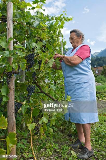 Farmer working on the farm, tying up wine, Kreutner family farm, Schwaz District, Tyrol, Austria Family