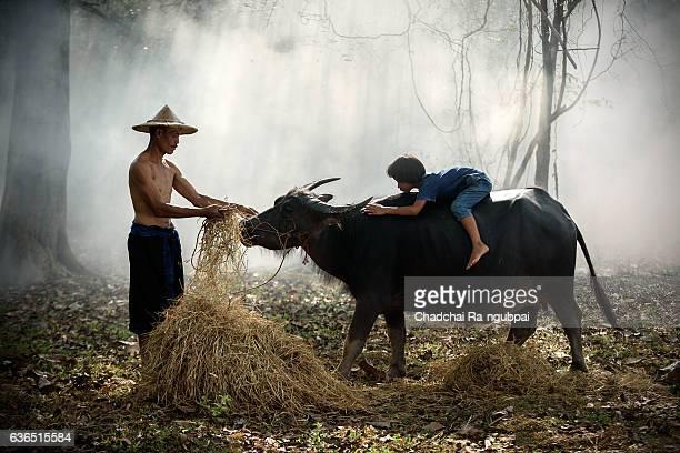 farmer working - asian ox imagens e fotografias de stock