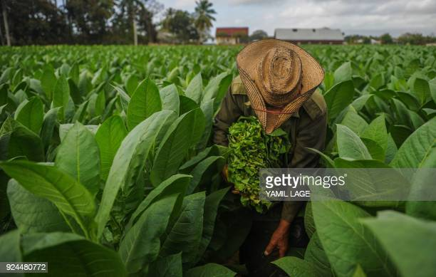 TOPSHOT A farmer works at a tobacco plantation in San Juan y Martinez Pinar del Rio Province Cuba on February 24 2018 Cuba will hold the 20th edition...