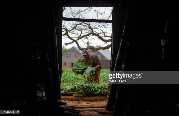 A farmer works at a tobacco plantation in San Juan y Martinez Pinar del Rio Province Cuba on February 24 2018 Cuba will hold the 20th edition of the...