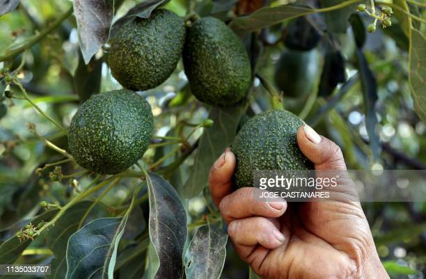 A farmer works at an avocado plantation in El Carmen ranch in the community of Tochimilco Puebla State Mexico on April 5 2019 US President Donald...