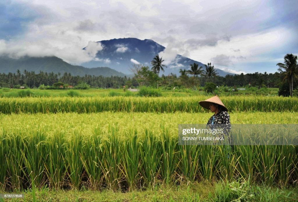 TOPSHOT - A farmer works in a field as Mt. Agung volano looms in the background in the Rendang sub-district of Karangasem Regency on Indonesia's resort island of Bali on November 24, 2017. Thousands living in the shadow of a rumbling volcano on Indonesia's resort island of Bali fled on November 22 as fears grow that it could erupt for the first time in more than 50 years. Mount Agung belched smoke as high as 700 metres (2,300 feet) above its summit late after on November 21, sparking an exodus from the settlements near the mountain. /