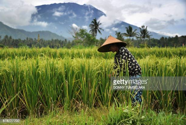 A farmer works in a field as Mt Agung volano looms in the background in the Rendang subdistrict of Karangasem Regency on Indonesia's resort island of...