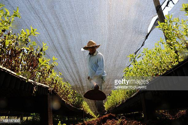 A farmer works in a plantation of stevia on October 18 2014 in Guayaibi 175 km north of Asuncion Following the approval by the US and European health...