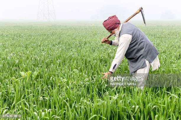 A farmer works in a wheat field on the outskirts of Amritsar on February 1 2020