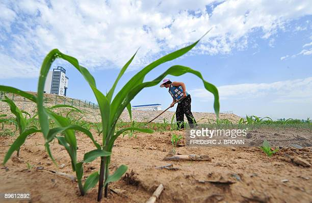 A farmer works in her dry corn field beside a fencedin canal that is part of China's hugely ambitious but troubled SouthNorth Water Diversion Project...