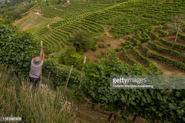 A farmer works in the vineyards on July 12 2019 in Conegliano ItalyThe Conegliano and Valdobbiadene regions of northeast Italy have been added to the...