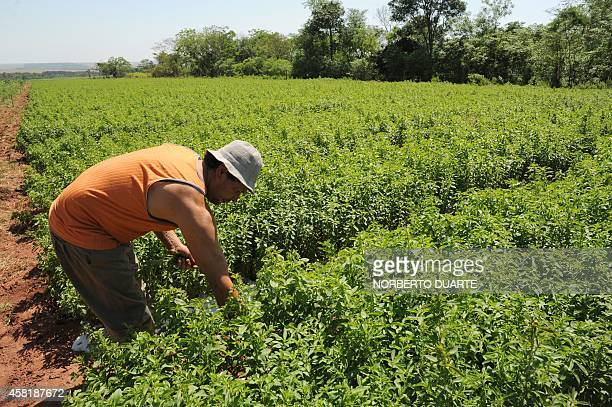 A farmer works on a plantation of stevia on October 18 2014 in Guayaibi 175 km north of Asuncion Following the approval by the US and European health...