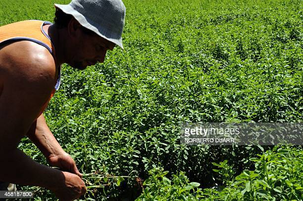 A farmer works on a plantation of stevia on October 18 2014 in Guayaibi 175 km north of Asuncion Following the approval by the American and European...