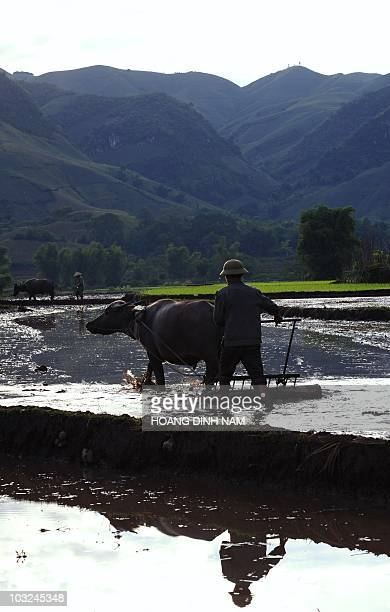 A farmer works the traditional way with a buffalo on a rice field in the northern mountainous province of Son La on July 25 2010 Buffalos and horses...
