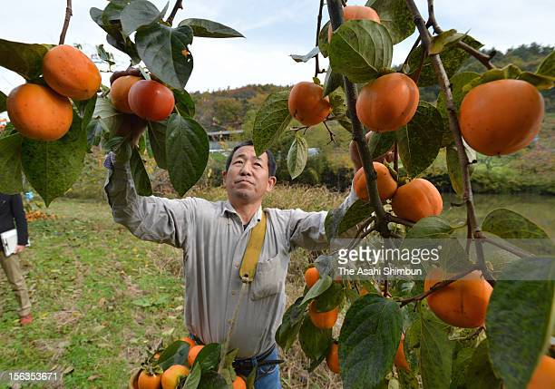 Farmer Yasushi Okazaki harvests ripen persimmons that he has just hearvested on November 13 2012 in Date Fukushima Japan Though the farmers had...