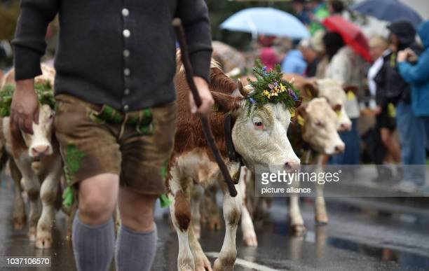 Farmers and cow herders herd cows at the traditional 'Almabtrieb' mountain event in Kruen, Germany, 17 September 2016. Photo:ANGELIKAWARMUTH/dpa |...