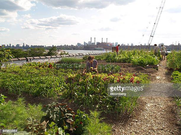 Farmers Annie Novak left and Ben Flanner get a hand from volunteers in Brooklyn New York US on July 14 2009 The urban farmers get a lot of support...