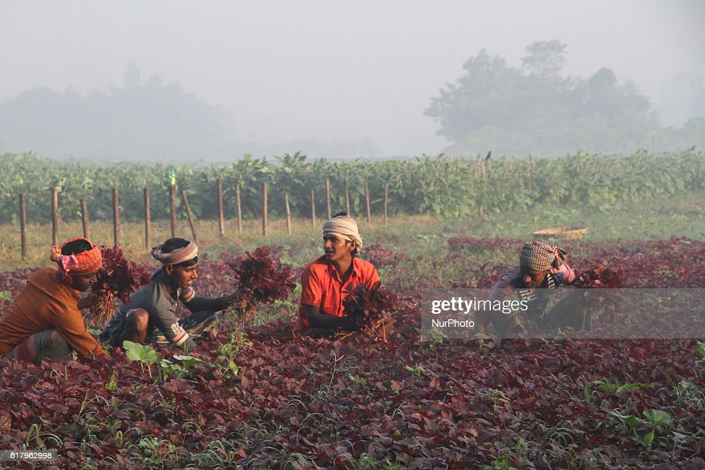 Farmers are collecting vegetable on a field outside of Dhaka, Bangladesh on October 25, 2016. Vegetable production is contributing to the nutrition strategy of Bangladesh. Average agriculture sector GDP annual growth reached 3.5 per cent.