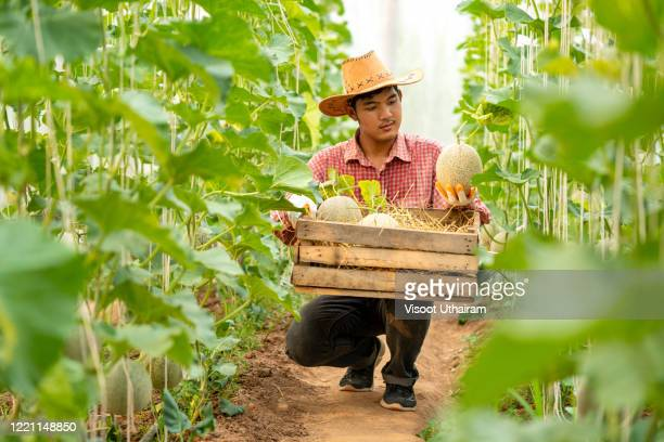 farmers are harvesting melons in greenhouses. - 栽培する ストックフォトと画像