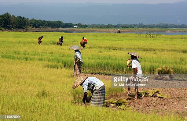 Farmers are working in paddy fields.