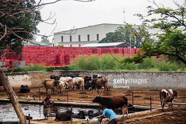 Farmers attend to their cattle at a cow shelter known as a goshala as crates sit stacked at the the newly built CocaCola Co bottling plant in...