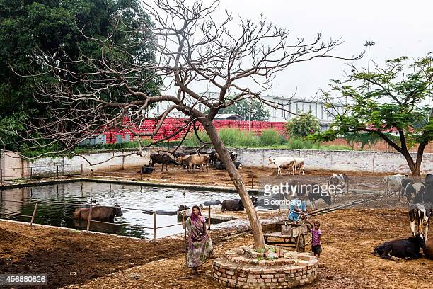 Farmers attend to their cattle at a cow shelter known as a goshala next to the newly built CocaCola Co bottling plant in Mehediganj Uttar Pradesh...