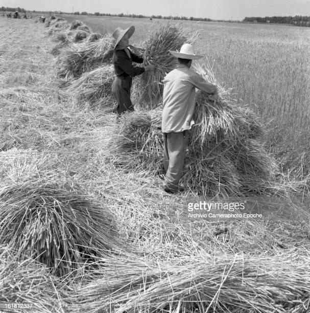 Farmers bent on the corn bale Portogruaro Venice1950s