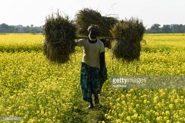 Farmers carry harvested rice paddy as they are walking between a mustard field, during country-wide strike by farmers, in Barpeta, Assam, India on 08...