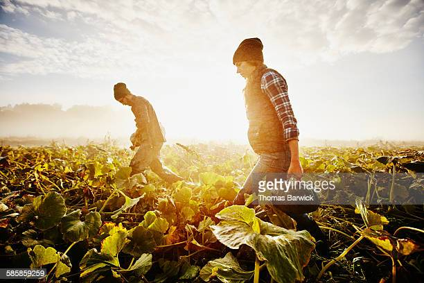 farmers carrying organic squash during harvest - fall harvest stock pictures, royalty-free photos & images