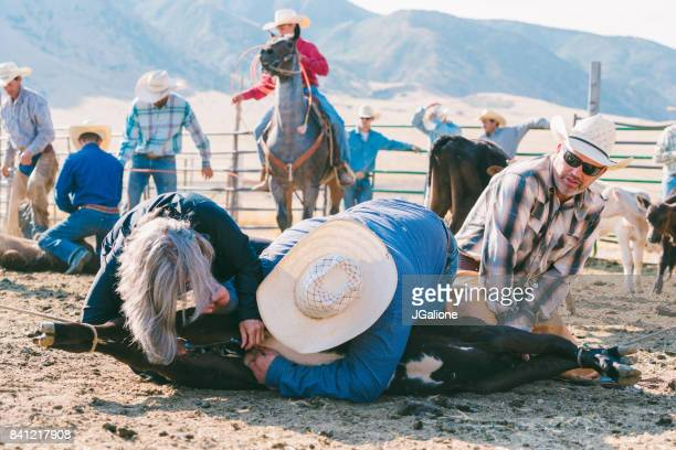 farmers castrating a young bull - human castration photo stock photos and pictures