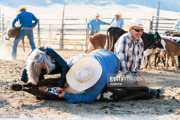 farmers castrating a young bull - castration stock pictures, royalty-free photos & images