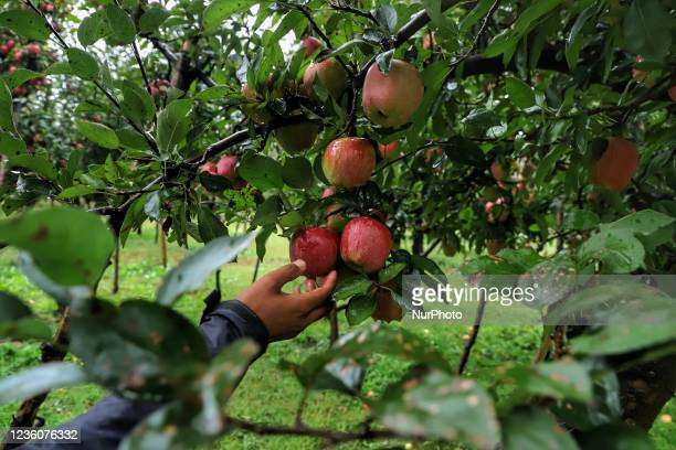 Farmers check the Apples on Trees as Unexpected snowfall and Rainfall damaged the crop as harvesting was not done in Sopore, District Baramulla,...