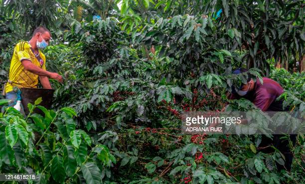 Farmers collect coffee seeds at a plantation in La Tebaida municipality department of Quindio Colombia on May 21 2020 Colombian coffee growers fear...