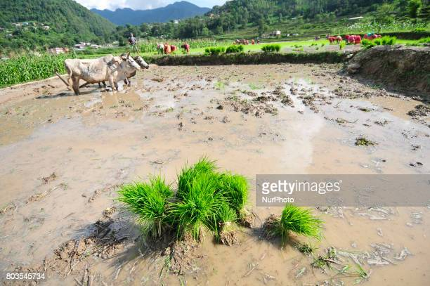 Farmers collect rice sapling for the Rice Plantation during the celebration of National Paddy Day quotASHAD 15quot at Chhampi Patan Nepal on Thursday...